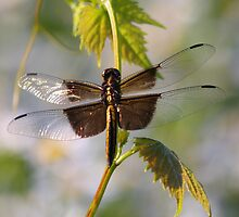 Catching Sunlight - Widow Skimmer Dragonfly by Tony Wilder