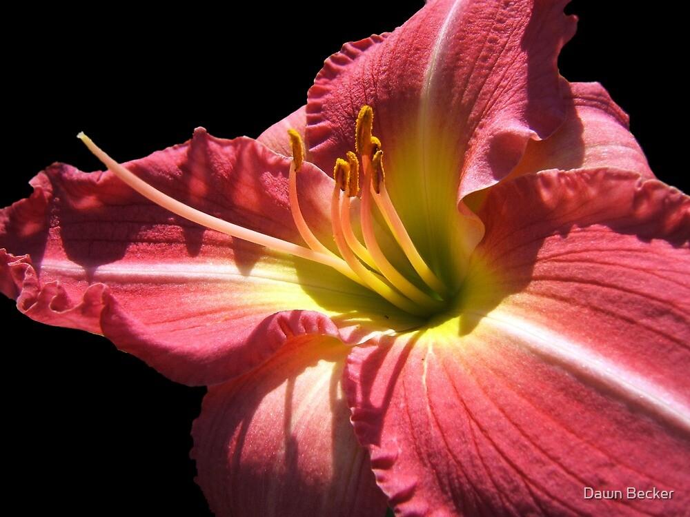 Cherry Lily © by Dawn Becker