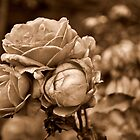 Faded Roses by Angelica Miller