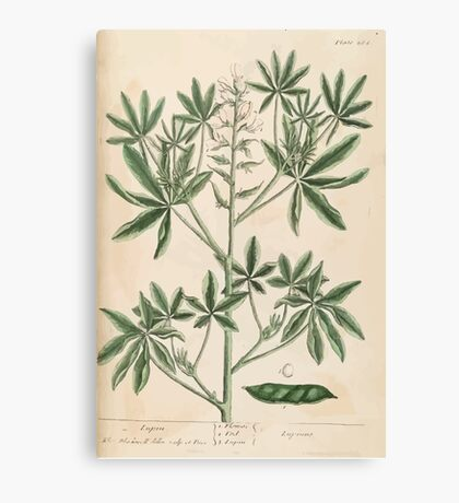 A curious herbal Elisabeth Blackwell John Norse Samuel Harding 1739 0082 Lupin Canvas Print