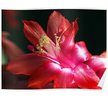 Zygo Cactus in bloom Poster