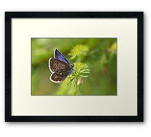 Common Blue - Polyommatus icarus Framed Print