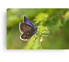 Common Blue - Polyommatus icarus Canvas Print