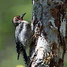 Juvenile Red-breasted Sapsucker by DJ LeMay