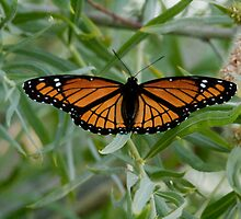 Viceroy Butterfly 1 by Forrest  Ray