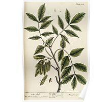 A curious herbal Elisabeth Blackwell John Norse Samuel Harding 1739 0196 The Ash Tree Poster