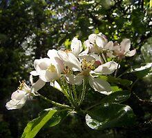 apple blossoms #3 by Dawna Morton