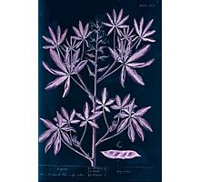 A curious herbal Elisabeth Blackwell John Norse Samuel Harding 1739 0082 Lupin Inverted Photographic Print