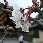 Blossom - Imperial Palace Gardens, Kyoto by Helen Barnett