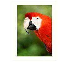 Scarlet Macaw  Art Print