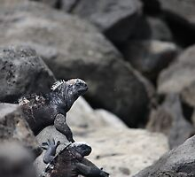 Hide and seek with Marine Iguanas by littleBIG