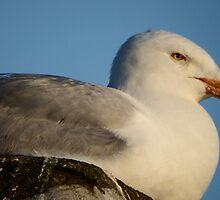 Resting Seagull by DEB VINCENT