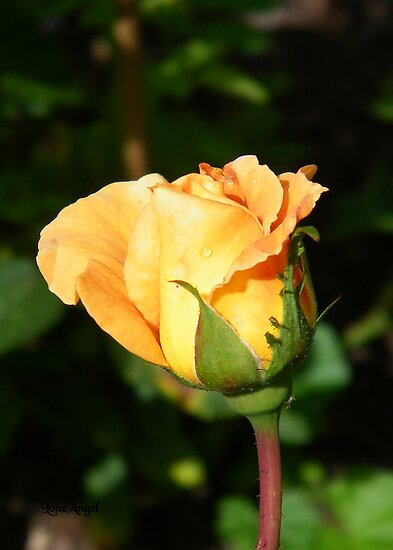 Rose Bud .. Golden by LoneAngel