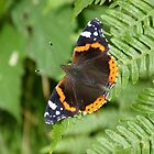 Red Admiral by Tony4562