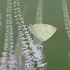 Cabbage butterfly by Alice Kahn