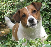 Jack Russel - waiting to play by Haley of alwaysbeautiful by alwaysbeautiful
