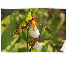 Mountain Lady's Slipper Poster