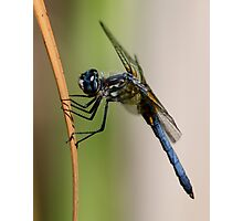 Profile of a Blue Dasher Photographic Print