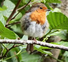 Fluffy Robin Red Breast  by DEB VINCENT