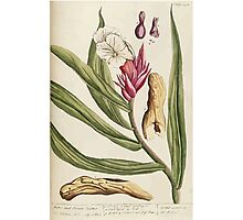 A curious herbal Elisabeth Blackwell John Norse Samuel Harding 1739 0362 Bitter and Sweet Costus Photographic Print