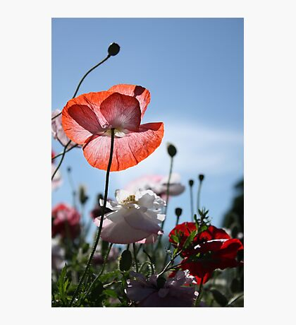 Poppies in the sun Photographic Print