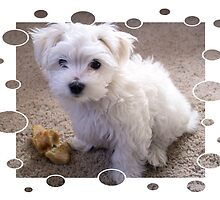 Maltese Puppy by bjredmond