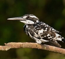 pied kingfisher take off by kvbhat