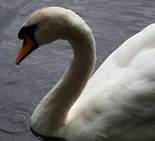 Graceful Swan by DEB VINCENT