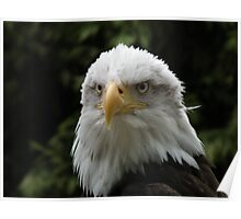 Eagle Portrait 2 Poster
