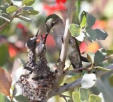 Momma Costa's hummingbird with babies. by Bluecornstudios