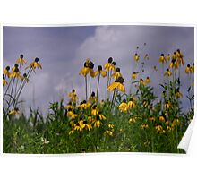 Black-eyed Susans Against the Cornfield and Sky Poster