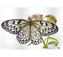 Paper Kite butterfly (Idea leuconoe) Poster