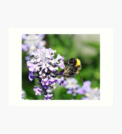 Peebles Bumblebee on Lavendar Art Print