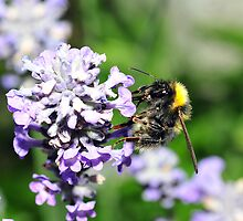 Peebles Bumblebee on Lavendar by photobymdavey