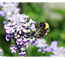 Peebles Bumblebee on Lavendar Photographic Print