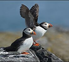 Puffin in a flap by ten2eight