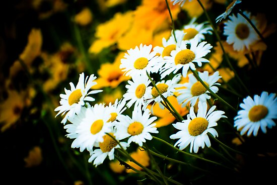 Summer Daisies by Charles Plant