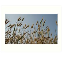 Wheat in Eastern Oregon Art Print