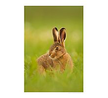 Young hare Photographic Print