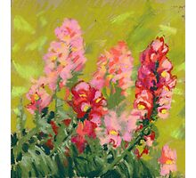 Snapdragon (antirrhinum) flowers. Painted with pastels.  Photographic Print