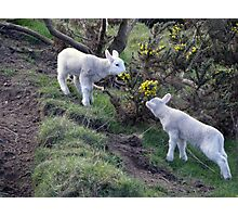 Lambs Puppy Food - Donegal Ireland  Photographic Print