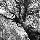 Single Bridge Big Tree  by Anna Goodchild