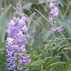 Idaho Lupine1 by Forrest  Ray