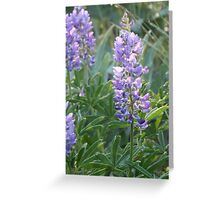 Idaho Lupine 2 Greeting Card