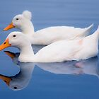 Just Ducky - Beautiful Birds Reflected on the Lake by Jack Daniel Ciallella