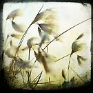cotton grass by Jackie Cooper