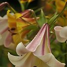 "Trumpet Lily ""Easter Morn"" by Michael Cummings"