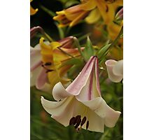 "Trumpet Lily ""Easter Morn"" Photographic Print"