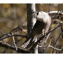 Gray Jay Photographic Print