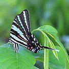 Zebra swallowtail laying eggs on paw paw by Alice Kahn